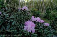 近所の石楠花 - Mark.M.Watanabeの熊本撮影紀行