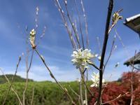 ジューンベリーの花 - 「今日の一枚」