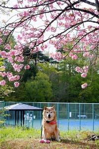 ponpon cherry blossom - 写心食堂