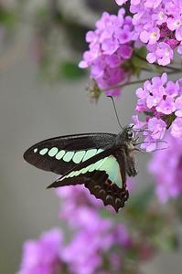 自宅の蝶・・・アオスジアゲハ - 続・蝶と自然の物語