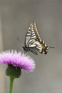自宅の蝶・・・アゲハ - 続・蝶と自然の物語