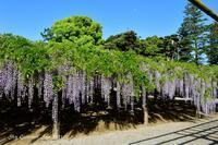 ◆ 「牛島の藤」を観た日(2021年4月) - 空とグルメと温泉と