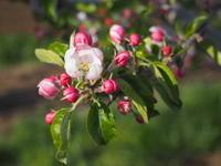 林檎の花 - 八ヶ岳 革 ときどき くるみ