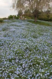 4月の花々(昭和記念公園) - マルオのphoto散歩