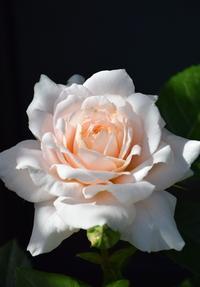 続バラの開花 - バラとハーブのある暮らし Salon de Roses
