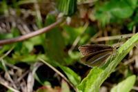 穀雨霜止出苗(しもやみてなえいずる) - 紀州里山の蝶たち