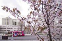 桜と市電 - 人間到る処青山有り
