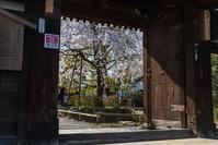 上品蓮台寺の枝垂れ桜 - ぴんぼけふぉとぶろぐ2