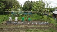 ミニトマト支柱立て - 居座り君の畑