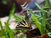 ギフチョウ - 飛騨山脈の自然