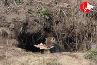 キタキツネ子狐黒スケバージョン - イチガンの花道