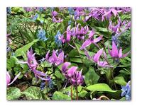 春の妖精たち - 雪割草 - Primula modesta -