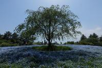 ネモフィラの咲く丘 - memory