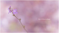 春のスケッチ 2021 #068 @ZUIKO AUTO-MACRO 90mm F2 - ルリビタキの気まぐれPATA*PATA