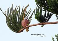 ヤツガシラが、ベニバトに化ける! - THE LIFE OF BIRDS ー 野鳥つれづれ記