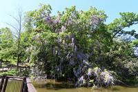 池のある公園で、ヤマフジが満開に - ぶらり散歩 ~四季折々フォト日記~