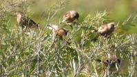 カワラヒワがセイヨウカラシナに群がる - 虫のひとりごと
