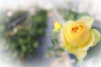 き薔薇 - さぬき風花