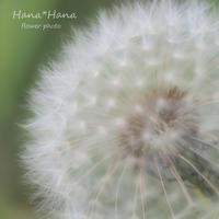 *綿毛* - HANA*HANA