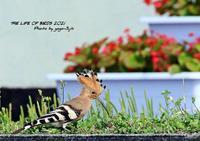 何かの拍子に驚いて冠羽を広げる、ヤツガシラ - THE LIFE OF BIRDS ー 野鳥つれづれ記