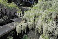 奈良公園の藤の花春日大社・萬葉植物園 - 峰さんの山あるき