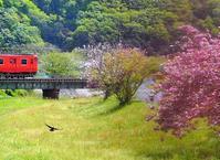 八重桜の並木道と桜の花の塩漬け - つれづれ日記Ⅱ