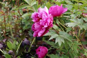 牡丹が咲いた - my small garden~sugar plum~