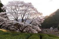2021桜咲く三重美杉竹原の薄墨桜 - 花景色-K.W.C. PhotoBlog