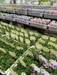 栄養系カリブラコア - さにべるスタッフblog     -Sunny Day's Garden-