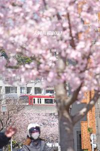 桜並木をパンダが‥‥ 『大岡川桜2021』③ - 写愛館