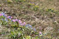 春の野の花~エゾエンゴサクとカタクリ - My favorite ~Diary 3~