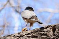 ハイタカ - 今日の鳥さんⅡ