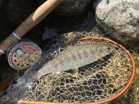 ドライフライに襲いかかる荒瀬のアマゴ達 - Flyfishing likes a rolling stone.