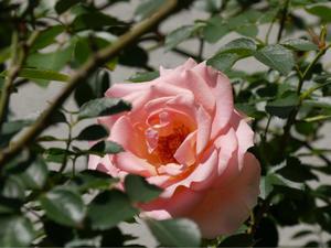 待ちに待った薔薇の季節 - 優しい時間