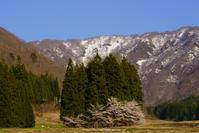 山の神の桜 - 野沢温泉とその周辺いろいろ2