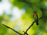 秋ヶ瀬公園・ピクニックの森/子供の森 2021.4.30(1) - 鳥撮り遊び