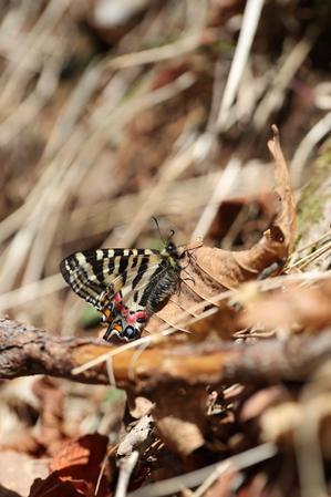 陽だまりのスミレで吸蜜する・・・ヒメギフチョウ - 蝶超天国