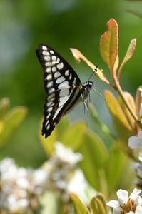 ミカドアゲハ飛翔 - 続・蝶と自然の物語