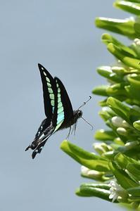 アオスジアゲハ - 続・蝶と自然の物語