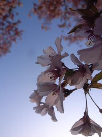 2021年 鶴ヶ城周辺の桜。 - カメラ小僧ぷーちゃんのGRフォトダイアリー。