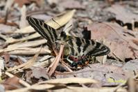 2011年3/27ギフチョウ、ミヤマセセリ、キアゲハ - ブログ和歌山の里山便り2