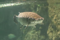 しながわ水族館「世界の大河から」④~ニホンスッポンの給餌(August 2020) - 続々・動物園ありマス。