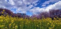 今春の桜@福島県石川町 - 963-7837
