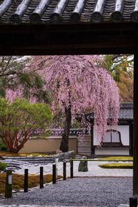 2021桜咲く京都 雨降る高台寺 - 花景色-K.W.C. PhotoBlog
