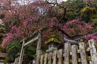 しだれ梅咲く大豊神社 - 花景色-K.W.C. PhotoBlog
