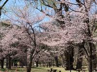 札幌の桜を急ぎ見る - IL PARADISO VERDE DI NORINA ~美瑛印象派ガーデン便り~