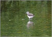 クサシギが川面で採食 - 野鳥の素顔 <野鳥と日々の出来事>