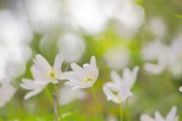 陽春 - 松之山の四季2