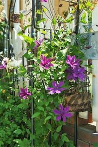 マルバ・ブルーファウンテンの青花♪ - ハイジの玄関先ガーデン エピソード2♪