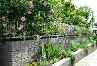 続バラの開花⑤メイ・クイーン(5月の女王)の開花 - バラとハーブのある暮らし Salon de Roses
